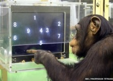 The QHImp Qhallenge: Working memory in humans and Chimpanzees