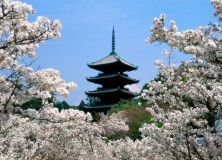 cherry_blossoms_ninna_ji_temple_grounds_kyoto_japan