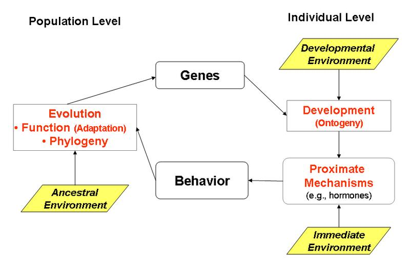Flow chart showing the interaction of functional, phylogenetic, mechanistic and ontogenetic explanations