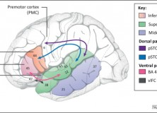 Berwick, Friederici, Chomsky, Bolhuis (2013): Evolution, brain, and the nature of language