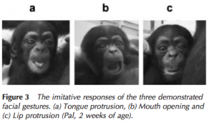 Picture of three young chimps; the first imitating tongue protrusion, second mouth opening and lip protrusion