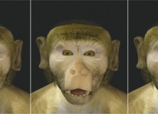 The Evolution of Speech: Lip-smacking monkeys